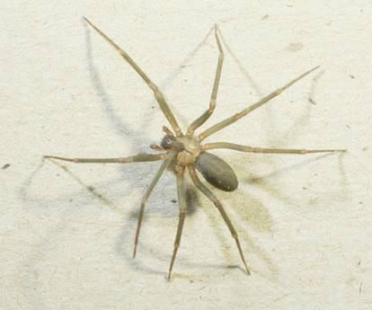 brown recluse spider bite pictures. The Dangerous Brown Recluse